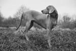 Photo Braque de Weimar