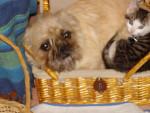 Chien Caline - Griffon bruxellois Femelle (3 ans)