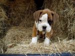 Chien César, chiot Boxer - Boxer  (Vient de naître)