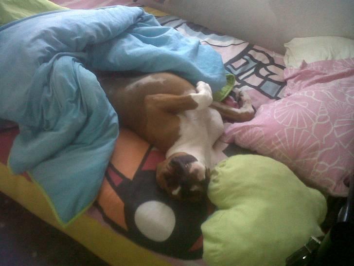bashy - Boxer Mâle (1 an)