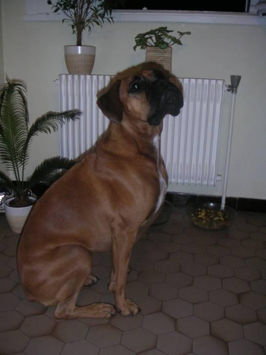 Ubba - Boxer (2 ans)