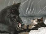 Anakin et les chatons - Berger Belge Groenendael