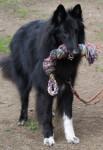 Gajeel des Perles Noires - Berger Belge Groenendael Mâle (4 ans)