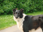 Never - Border Collie (2 ans)