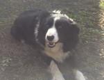 Belle - Border Collie (2 ans et 10 mois)