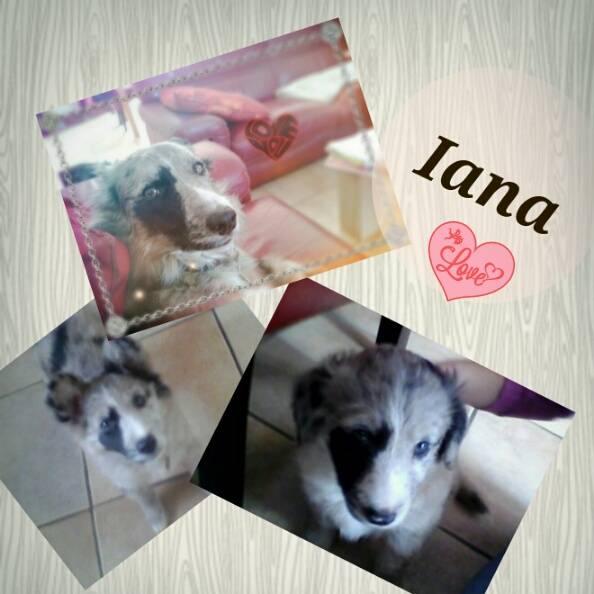 Iana - Border Collie (2 ans)
