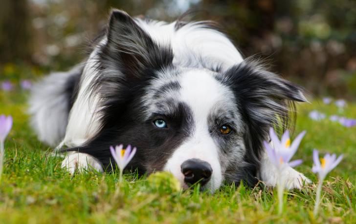 Un Border Collie aux yeux vairons allongé dans un champ en fleurs
