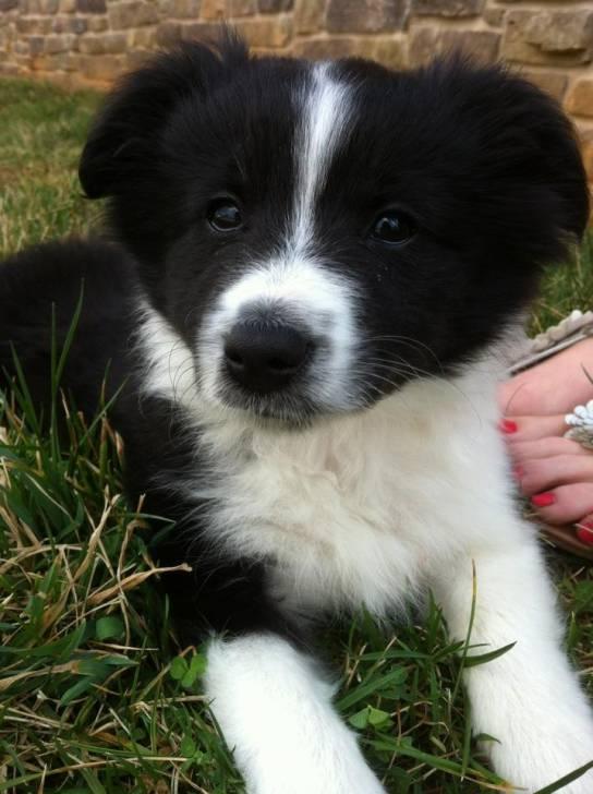 Zoey - Border Collie (3 mois)