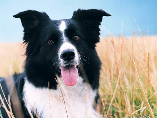 Farm Border Collie - Border Collie