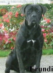 Photo Cane Corso