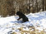 Chien Fesses dans la neige - Cane Corso Femelle (0 mois)