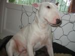Lilly - Bull terrier (7 mois)