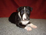 Luna - Bull terrier (2 mois)