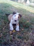 Edelweiss - Bull terrier (2 mois)