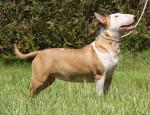 Edelweiss - Bull terrier (10 mois)