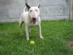 bubull - Bull terrier Mâle (6 mois)