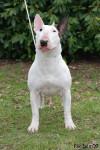 Maya - Bull terrier (1 an)