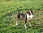 Gladiateur - Bull terrier Mâle (3 mois)