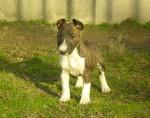 zuzia - Bull terrier (3 mois)