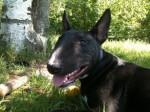 Svinkels 7 mois - Bull terrier (7 mois)