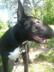 Svinkels Bull terrier - Bull terrier