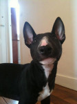 Portrait Svinkels Bull terrier - Bull terrier