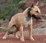 Geisha des Terres du Salagou - Bull terrier