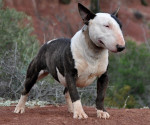 Ginseng des Terres du Salagou - Bull terrier