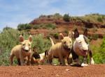 Chiots nés au Terres du Salagou - Bull terrier