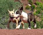 Geisha et Ginseng des Terres du Salagou - Bull terrier
