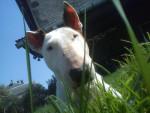 Taina, Bull Terrier 10 ans - Bull terrier (10 ans)