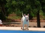 Chantal - Bull terrier (1 an)