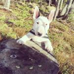 Hannibal - Bull terrier Mâle (2 mois)