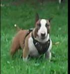 Iron - Bull terrier Mâle (6 ans)