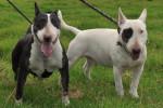Maya et Rox - Bull terrier Mâle (2 ans)