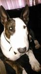 PeeWee - Bull terrier Mâle (4 ans)