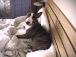 Rocco in bed - Bull terrier