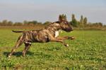 Photo Bull terrier