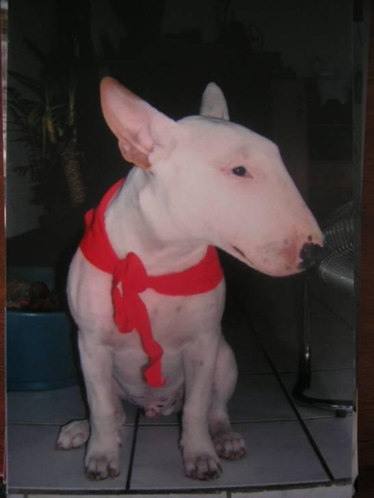 La pose - Bull terrier