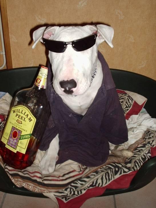 J adore faire la fete avec mon maitre et ses potes!!! - Bull terrier