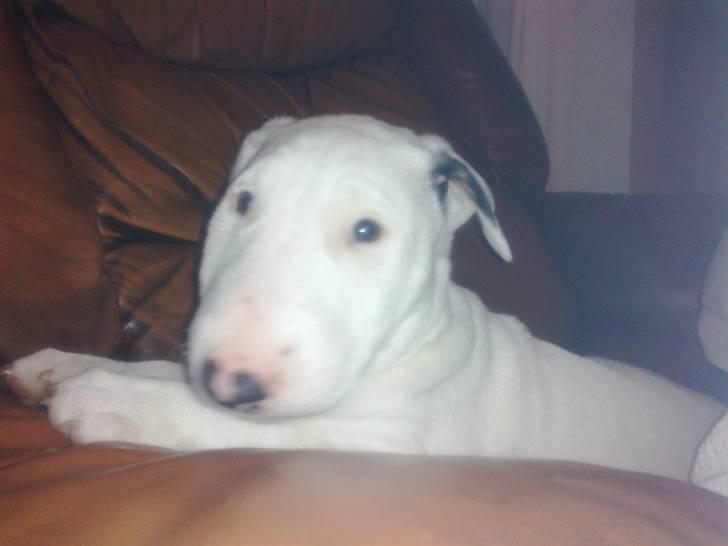 yaga - Bull terrier (5 mois)