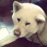 vanille - Akita-Inu Hatchy (10 ans)