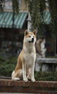 hatchi - Akita-Inu Hatchy Mâle (1 mois)