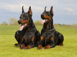 Photo Dobermann