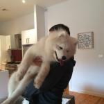 Chien Shiraz - Samoyede Mâle (9 mois)