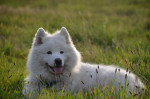 Photo Samoyede