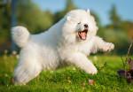 Un chiot Samoyède heureux saute dans l'herbe