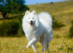 Un magnifique Samoyède heureux marche dans un champ