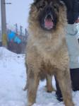 Simba de Brailita-Berger du caucase femelle - Berger du Caucase