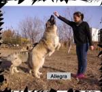 S-Allegra de Brailita- berger du caucase - Berger du Caucase